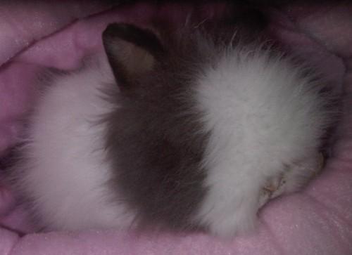 super klein dwergkonijn
